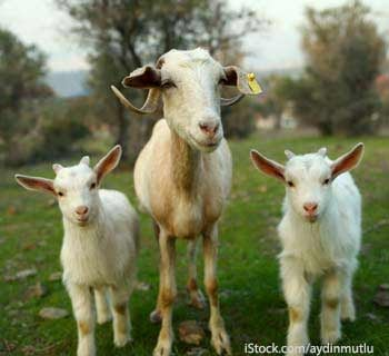 Goat with Two Kids